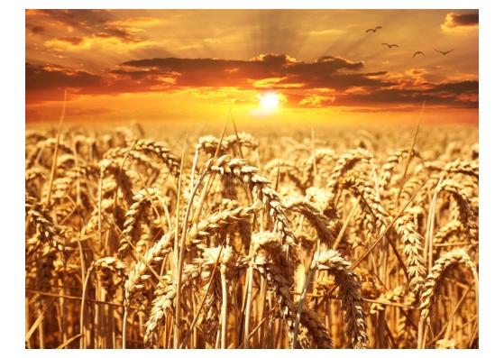 讓植物油說故事 小麥胚芽油